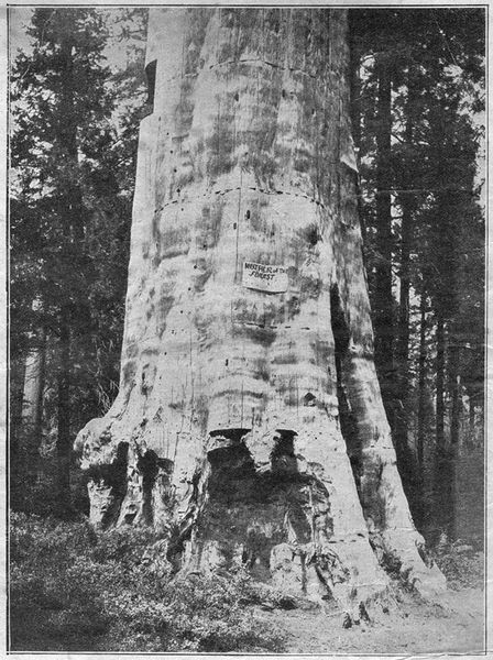 Файл:1903-01-10-1w-mother-of-the-forest.jpg